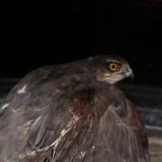 Yaralı Halde Bulunan Şahin Milli Parklara Teslim Edildi
