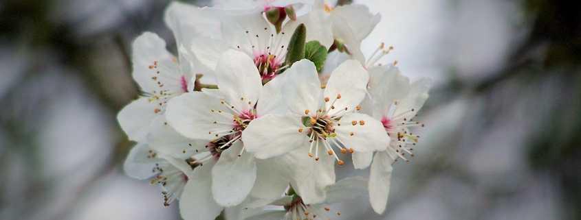 Kirschblüte - Urlaub in Franken - Individuelle Gruppenreisen