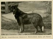 Gelbbacke mitteldeutschen Typs, um 1920