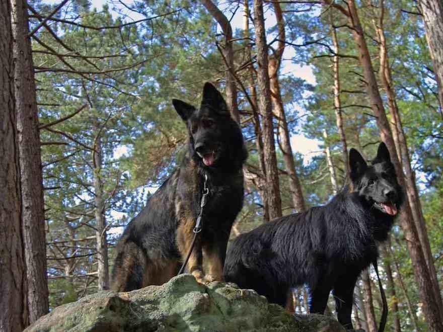 Altdeutsche Schäferhund
