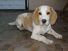 "Beagle in der Farbe ""tan-white"""