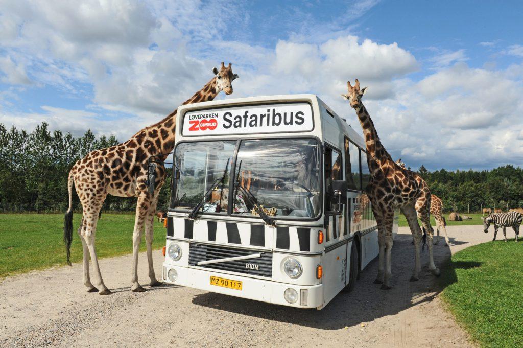 Den großen Tieren ganz nah: Der dänische Givskud Zoo unweit von Billund ermöglicht Safaritouren mit hautnahen Begegnungen - Süddänemark