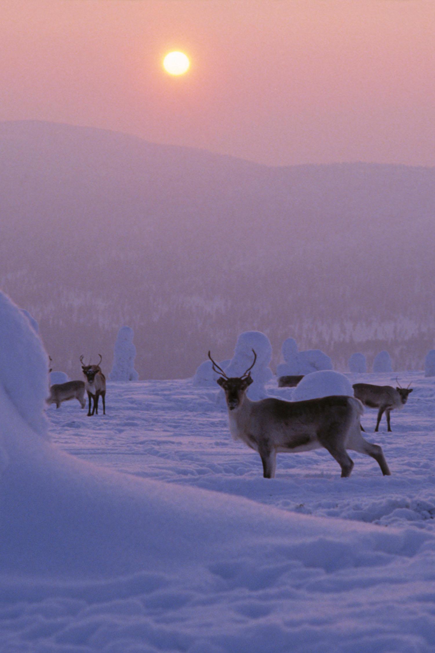 Im Norden Finnlands kann es im Winter immer wieder mal zu einer Begegnung mit Rentieren kommen.