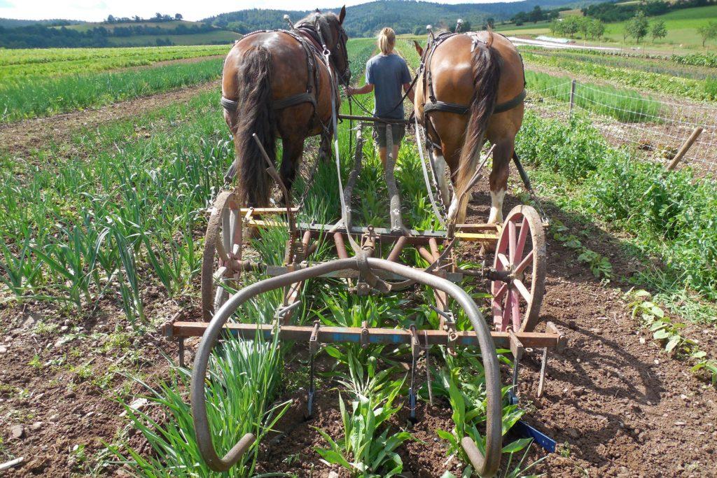 Auf einem Biohof im hessischen Oberellenbach helfen Freiwillige, Gemüse vom Pferdeacker zu ernten - Ökologisch betriebene Höfe