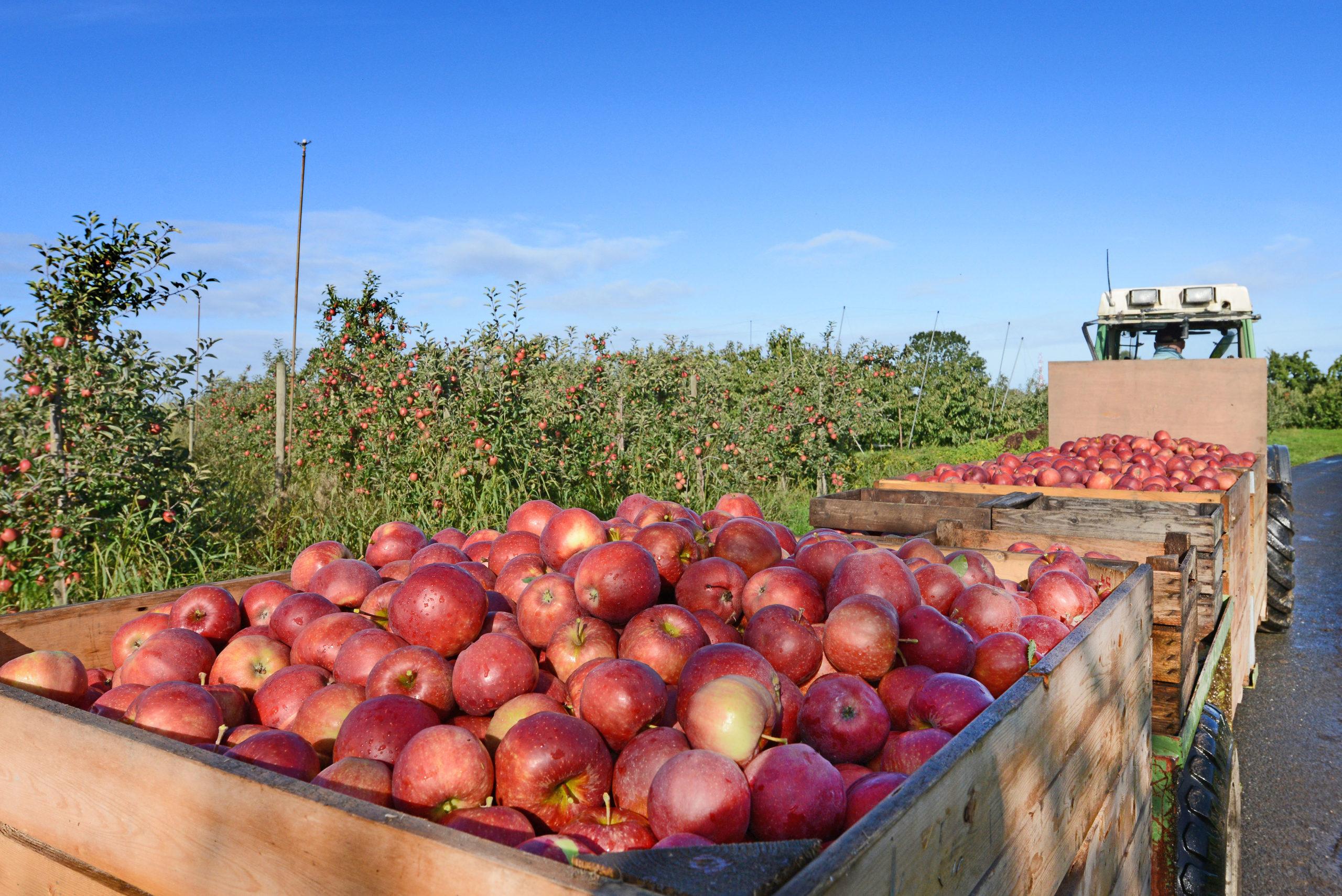Apfelernte und kulinarischer Herbst in Niedersachsen