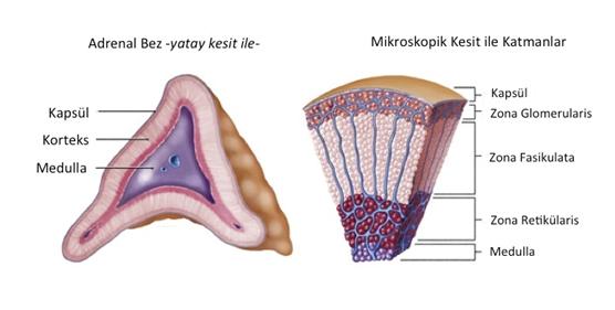 adrenal2