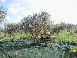 La Campagna Olive