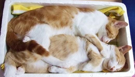 猫の糖尿病の原因や症状~末期まで!インスリン治療や費用など!