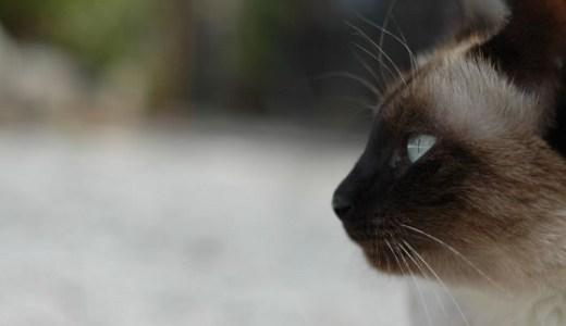 シャム(サイアミーズ)はどんな猫?その特徴や性格と値段!