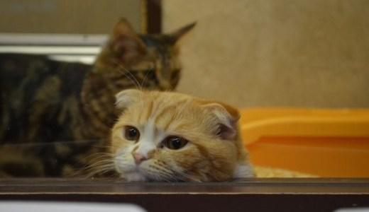 スコティッシュフォールド!人気No.1猫種の特徴や性格と値段!