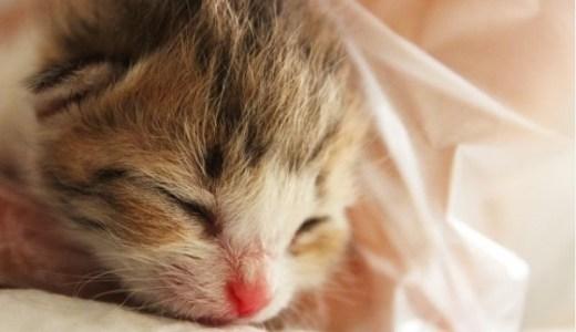 子猫の成長!誕生~成猫になるまでの体の変化や育て方まで!