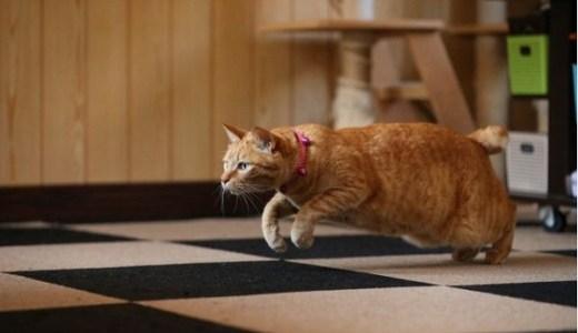 猫の身体能力が恐ろしい!抜群の瞬発力や柔軟性の秘密とは?