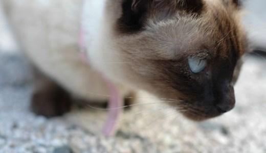 猫の目の上にはげが!毛が薄くなって地肌が見えるのは病気?