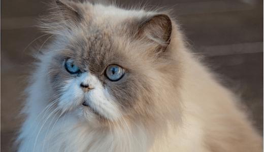 猫の副鼻腔炎の原因や症状と治療法!慢性の鼻炎には要注意!