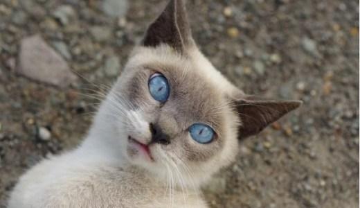 猫の目の瞬膜が突出している!考えられる原因や病気は?