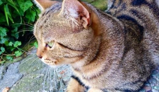 猫の耳に水ぶくれ(水泡)のようなもの?考えられる原因とは?