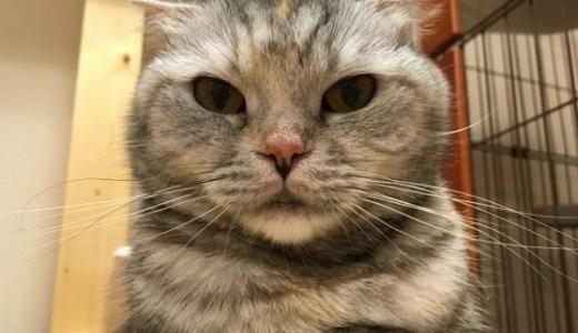 猫のスコティッシュフォールドに多い遺伝病,先天性疾患とは?