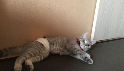 猫の避妊手術後に起きる傷口のしこりや腫れ,膨らみの原因は?