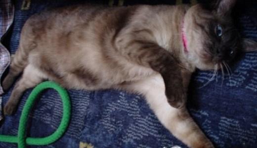 犬みたいな猫はメインクーン以外にも!犬の魂を持つ猫たち!