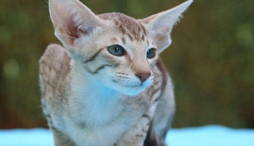 猫のオリエンタルショートヘアーの特徴や値段!甘えん坊代表!