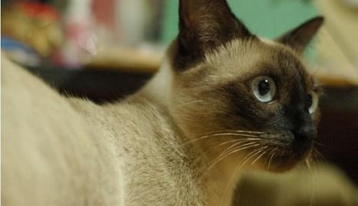 猫がトイレで唸るときに考えられる原因や病気の可能性とは?