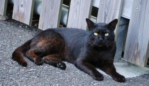 小笠原で捕獲される野生化した猫の大多数が黒ネコなのはなぜ?