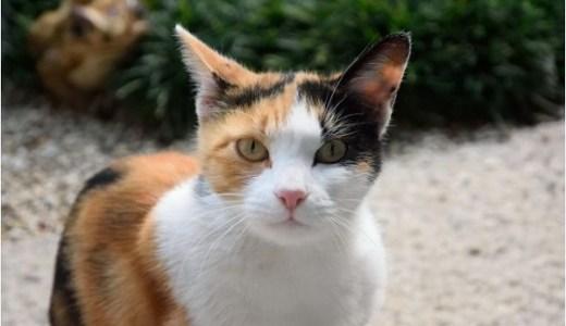 三毛猫のオスの寿命や生殖能力は?希少な理由や生まれる確率は?