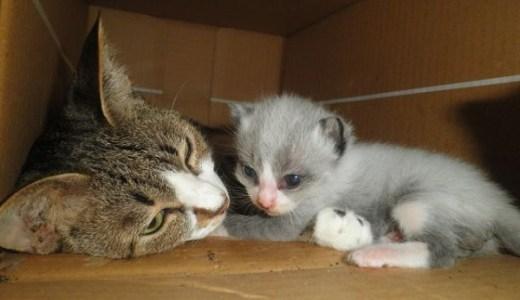 猫の出産後の発情はいつくる?避妊手術はいつから可能?