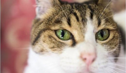 猫の扁平上皮癌!鼻や口腔,顎などの手術の選択と予後について!