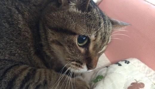 慢性腎不全の猫に刺身やささみなど与えていい?腎臓への負担は?