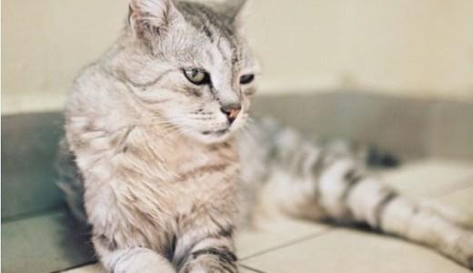 猫の脱水症状の治療と自宅での応急処置や対処法、ケアなど!