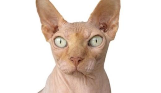 スフィンクスは猫アレルギーでも飼える?皮膚や抜け毛について!