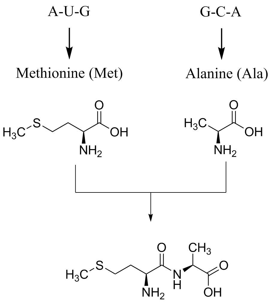 Joining Two Amino Acids