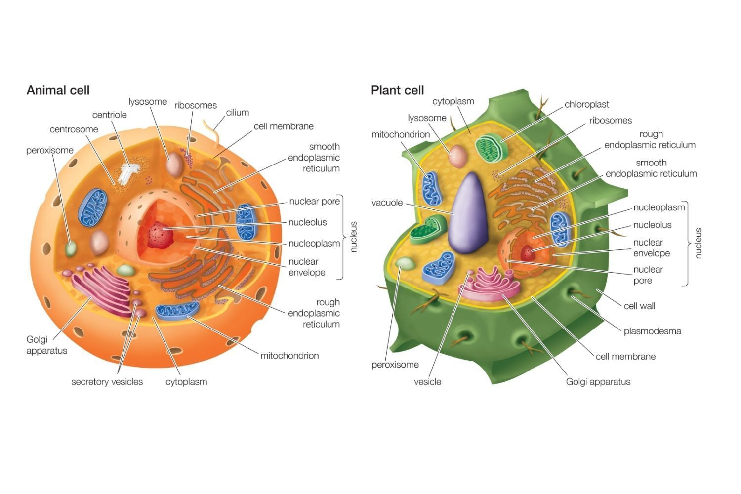 Which Structures Are Found In Plant Cells But Not In