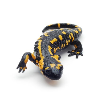 lizards: salamander