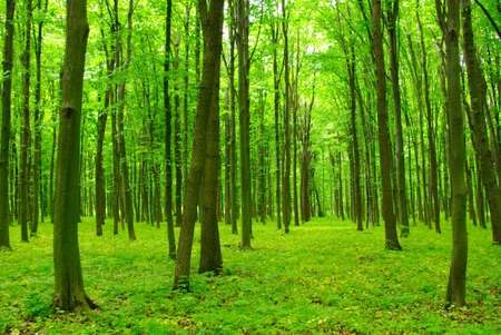 Trees in a green forest in spring Stock Photo - 17882181