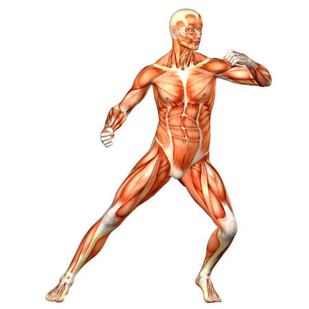 abdominal muscle: Illustration of the anatomy of the male human body isolated on a white background