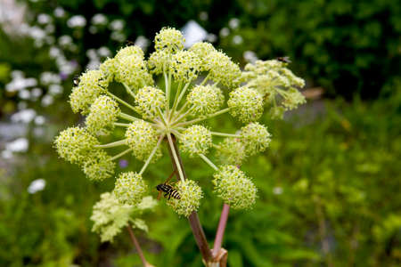 Umbel of the Real angelica, Saxony, Germany, thermal Wiesenbad Stock Photo - 24730120