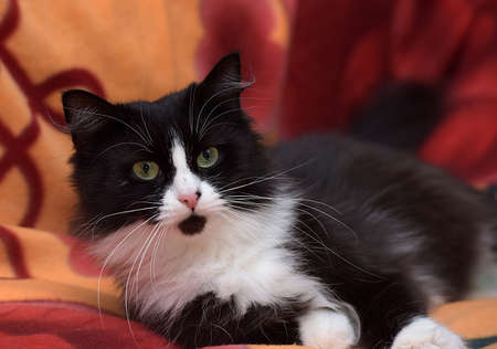 black with white fluffy cat on the sofa Stock Photo - 38604455