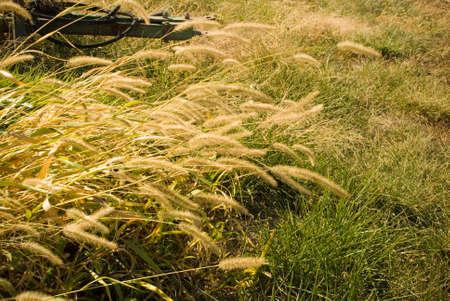 Dry Fall Grass