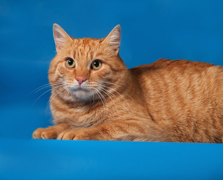 Ginger tabby cat lying on blue background Stock Photo - 33928456