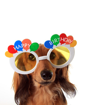 Dachshund puppy wearing Happy Birthday glasses. Stock Photo - 47381520