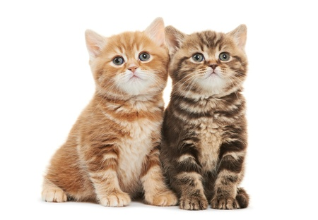 Two British Shorthair kitten cat isolated Stock Photo - 17961738