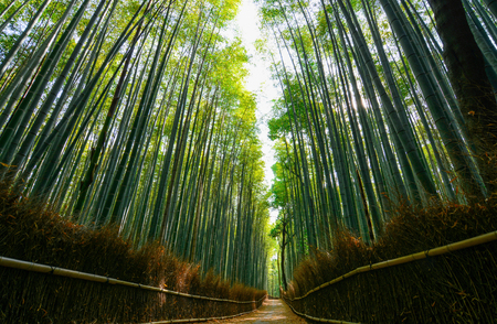 thick bamboo poles: Path through the lush green forest of giant bamboo in Arashiyama in Kyoto, Japan