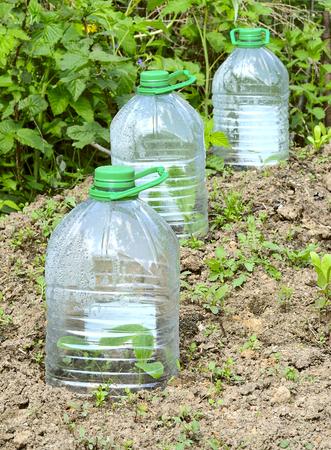 jeunes plants de plantes potageres recouverts d une bouteille d eau en plastique dans le jardin au printemps comme la serre
