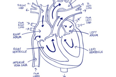 Sketch diagram of heart path decorations pictures full path heart here are a bunch parts of the heart sketch of heart with labelling parts photos human heart diagram sketch of heart with labelling parts photos ccuart Images