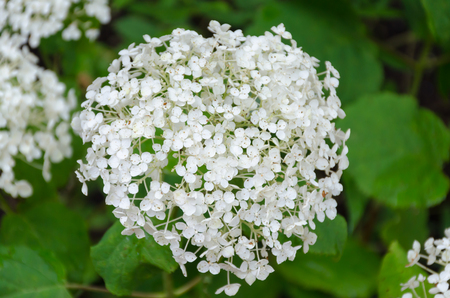 White Bishop flower  -Queen Anne s Lace - closeup Stock Photo - 30680102
