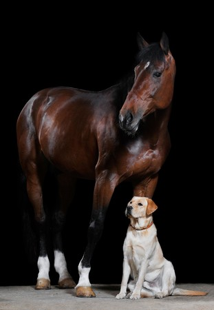 beautiful horse: bay horse and dog on the black background