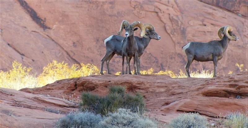 Tiere in Nevada