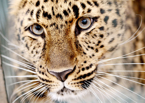 Cross-border reserve to protect leopards